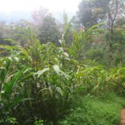 cardamom plantation in munnar